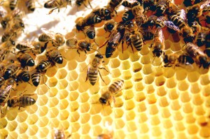 bees on comb 300x199 Beekeeping for Beginners A Simple Start up Guide To Beekeeping